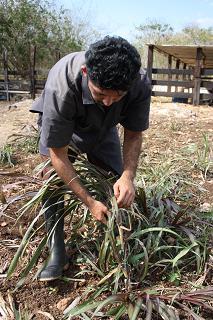 Nuevo forraje resistente a la sequía y alternativo para la ganadería yucateca